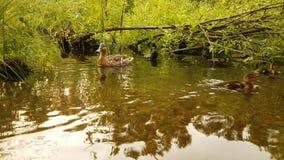 Κλείστε επάνω των νέων νεοσσών παπιών που κολυμπούν στη μεγάλη ομάδα νερού άγριων πουλιών Πάπια με τους νεοσσούς στον περίπατο πο απόθεμα βίντεο