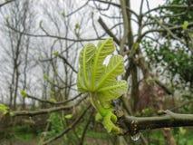 Κλείστε επάνω των οφθαλμών φύλλων κλάδων στο δέντρο σύκων μια βροχερή ημέρα την άνοιξη στοκ φωτογραφία με δικαίωμα ελεύθερης χρήσης