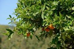 Κλείστε επάνω των πορτοκαλιών φρούτων Στοκ εικόνα με δικαίωμα ελεύθερης χρήσης