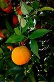 Κλείστε επάνω των πορτοκαλιών φρούτων Στοκ φωτογραφίες με δικαίωμα ελεύθερης χρήσης