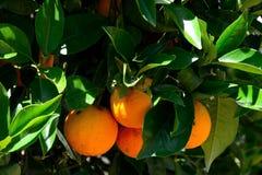 Κλείστε επάνω των πορτοκαλιών φρούτων Στοκ φωτογραφία με δικαίωμα ελεύθερης χρήσης