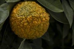 Κλείστε επάνω των πορτοκαλιών aSeville με το εξαιρετικό τραχύ δέρμα Γεροντολογία και έννοια φροντίδας δέρματος με κάποιο διάστημα στοκ φωτογραφίες