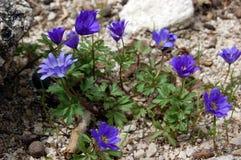 Κλείστε επάνω των πορφυρών ιωδών nobilis Hepatica λουλουδιών, κοινό Hepatica, liverwort, kidneywort, pennywort, hepatica Anemone Στοκ εικόνες με δικαίωμα ελεύθερης χρήσης