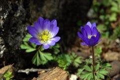 Κλείστε επάνω των πορφυρών ιωδών nobilis Hepatica λουλουδιών, κοινό Hepatica, liverwort, kidneywort, pennywort, hepatica Anemone Στοκ εικόνα με δικαίωμα ελεύθερης χρήσης