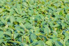 Κλείστε επάνω των πράσινων φύλλων τσαγιού στον τομέα με το υπόβαθρο θαμπάδων Τσάι φ Στοκ Εικόνες