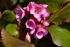 Κλείστε επάνω των ρόδινων βουνών φύλλων φύλλων καρδιών λουλουδιών bergenie πυκνά την άνοιξη με το φυσικό πράσινο υπόβαθρο Στοκ Εικόνες