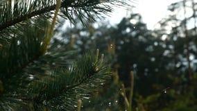 Κλείστε επάνω των σταγονίδιων βροχής που πέφτουν από τους κλάδους δέντρων πεύκων σε σε αργή κίνηση απόθεμα βίντεο