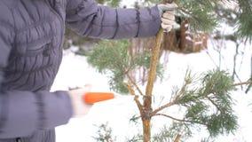 Κλείστε επάνω των τεμνόντων κλάδων δέντρων πεύκων από το πριόνι στο χειμερινό χιονώδη κήπο για τη Χαρούμενα Χριστούγεννα και καλή απόθεμα βίντεο