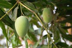 Κλείστε επάνω των φρούτων μάγκο στον κήπο Ταϊλανδικά φρούτα στοκ εικόνες με δικαίωμα ελεύθερης χρήσης