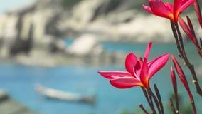 Κλείστε επάνω των φωτεινών κόκκινων λουλουδιών plumeria ανθών μπροστά από τον ωκεάνιο κόλπο με μερικούς τεράστιους βράχους γρανίτ απόθεμα βίντεο