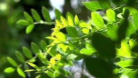 Κλείστε επάνω των φύλλων ακακιών το πράσινο υπόβαθρο με τον ήλιο Φύση, φρεσκάδα απόθεμα βίντεο
