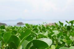 Κλείστε επάνω των φύλλων αναρριχητικών φυτών ποδιών αιγών ` s στην παραλία σε Phuk Στοκ Εικόνες
