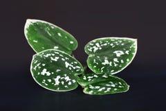 Κλείστε επάνω των φύλλων φυτών Pothos σατέν Scindapsus Pictus Argyreus στο σκοτεινό υπόβαθρο στοκ φωτογραφία με δικαίωμα ελεύθερης χρήσης