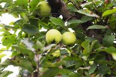 Κλείστε επάνω των χρυσών μήλων που κρεμούν από ένα δέντρο στοκ εικόνες με δικαίωμα ελεύθερης χρήσης