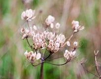 Κλείστε επάνω των όμορφων νεκρών umbellifer σπόρων W κεφαλιών λουλουδιών εγκαταστάσεων Στοκ Εικόνες
