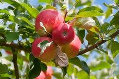 Κλείστε επάνω των ώριμων βασιλικών μήλων gala σε έναν κλάδο με τα πράσινα φύλλα στοκ εικόνα