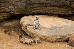 Κλείστε επάνω των meerkats στο ζωολογικό κήπο στοκ εικόνα