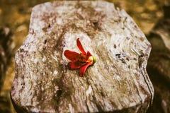 κλείστε επάνω Φρέσκο κόκκινο λουλούδι δέντρων βαμβακιού Στοκ φωτογραφία με δικαίωμα ελεύθερης χρήσης