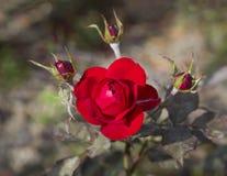 Κλείστε επάνω όμορφο κόκκινο αυξήθηκε με τρία αυξήθηκε οφθαλμός στο μαλακό BA bokeh Στοκ φωτογραφία με δικαίωμα ελεύθερης χρήσης