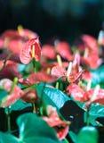 Κλείστε επάνω anthurium των λουλουδιών Στοκ εικόνες με δικαίωμα ελεύθερης χρήσης