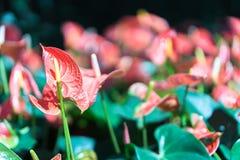 Κλείστε επάνω anthurium των λουλουδιών Στοκ Φωτογραφία