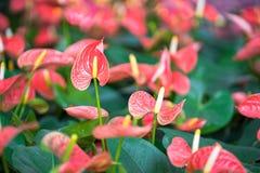 Κλείστε επάνω anthurium των λουλουδιών Στοκ εικόνα με δικαίωμα ελεύθερης χρήσης