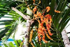 Κλείστε επάνω betel - καρύδι στοκ εικόνες με δικαίωμα ελεύθερης χρήσης