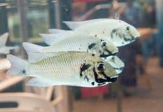Κλείστε επάνω blackchin tilapia τα ψάρια Sarotherodon melanotheron κολυμπώντας σε μια δεξαμενή ψαριών, είναι ένα είδος cichlid εγ στοκ φωτογραφίες