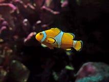 Κλείστε επάνω Clownfish ή Anemonefish στο υπόβαθρο φύσης στοκ φωτογραφία με δικαίωμα ελεύθερης χρήσης