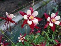 Κλείστε επάνω Columbine Aquilegia Caerulea, των πορφυρών κόκκινων και άσπρων λουλουδιών αστεριών στοκ εικόνα