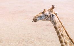Κλείστε επάνω giraffe ` s το κεφάλι Στοκ φωτογραφία με δικαίωμα ελεύθερης χρήσης