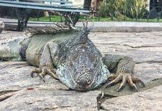 Κλείστε επάνω Iguana στο πάρκο Seminario, Guayquil Ισημερινός Στοκ φωτογραφία με δικαίωμα ελεύθερης χρήσης