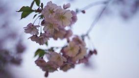 Κλείστε επάνω 4K του λουλουδιού sakura στο ηλιοβασίλεμα - τηλεφωνήστε ελαφρύ σε dinamic γύρω απόθεμα βίντεο