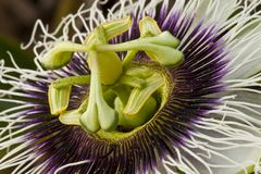 Κλείστε επάνω passiflora του caerulea Στοκ φωτογραφία με δικαίωμα ελεύθερης χρήσης