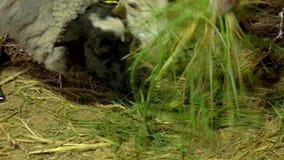 Κλείστε επάνω sheeps να φάει την πράσινη χλόη στο αγρόκτημα απόθεμα βίντεο