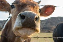 Κλείστε επάνω snout αγελάδων Στοκ Εικόνα