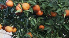Κλείστε επάνω tangerine το δέντρο - τηγάνι απόθεμα βίντεο