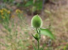 Κλείστε επάνω Teasel, Dipsacus Teasel είναι ένα γένος του ανθίζοντας φυτού στην οικογένεια Caprifoliaceae Teasel είναι επίσης Στοκ Φωτογραφία