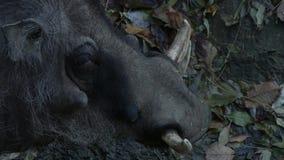 Κλείστε επάνω warthog στην αγριότητα απόθεμα βίντεο