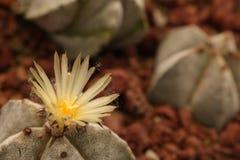 Κλείστε μέχρι ένα ανθίζοντας λουλούδι κάκτων στοκ φωτογραφία