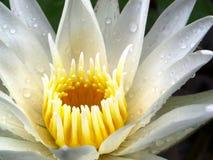 κλείστε μέχρι το άσπρο λουλούδι λωτού που ανθίζει μετά από την πτώση βροχής στο μ Στοκ Φωτογραφία