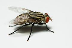 κλείστε τη μύγα επάνω Στοκ Εικόνες