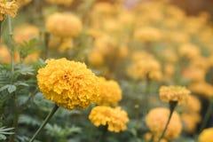 Κλείστε τον επάνω ανθίζοντας κίτρινο κήπο ανάπτυξης calendula Στοκ Φωτογραφίες