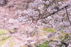 Κλειστός αυξημένος του άνθους και των κλάδων κερασιών Sakura στοκ εικόνες