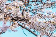 Κλειστός αυξημένος του άνθους και των κλάδων κερασιών Sakura στοκ φωτογραφία