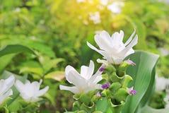 Κλειστός επάνω της ανθίζοντας άσπρης τουλίπας του Σιάμ λουλουδιών Krachai στο θερινό κήπο με τις ακτίνες του φωτός του ήλιου στοκ εικόνα με δικαίωμα ελεύθερης χρήσης