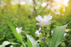 Κλειστός επάνω της ανθίζοντας άσπρης τουλίπας του Σιάμ λουλουδιών Krachai στο θερινό κήπο με τις ακτίνες του φωτός του ήλιου στοκ εικόνες