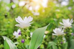 Κλειστός επάνω της ανθίζοντας άσπρης τουλίπας του Σιάμ λουλουδιών Krachai στο θερινό κήπο με τις ακτίνες του φωτός του ήλιου στοκ φωτογραφίες