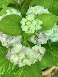 Κλειστός μέχρι την εικόνα Hydrangea έχει το ροζ, τα πέταλα και τα πράσινα φύλλα στον κήπο στοκ φωτογραφία