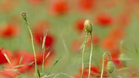 Κλειστός οφθαλμός ενός λουλουδιού παπαρουνών απόθεμα βίντεο